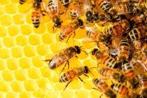 La abeja de la miel: un ejemplo del diseño inteligente